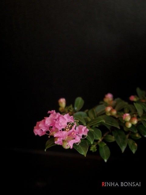 琳葉盆栽 姫百日紅 サルスベリ