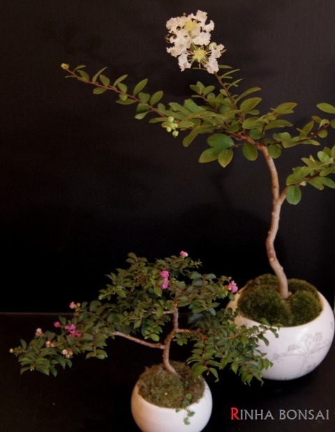 琳葉盆栽 百日紅 白花
