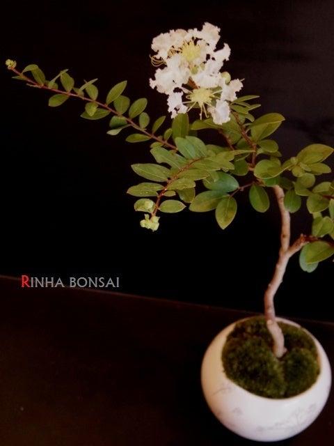 琳葉盆栽 サルスベリ 白花