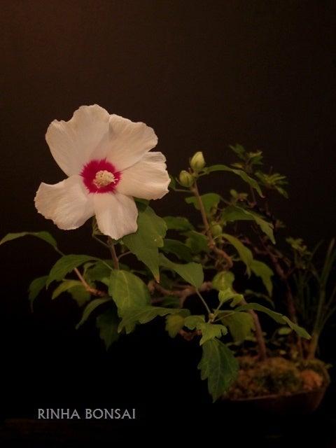 琳葉盆栽 木槿 ムクゲ