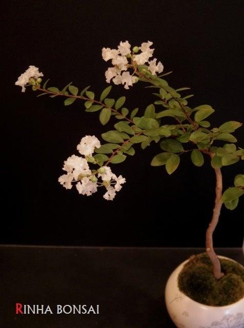 琳葉盆栽 百日紅