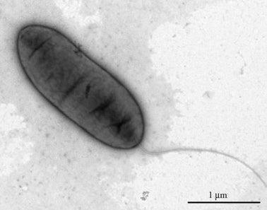 緑膿菌の鞭毛とRNA