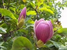 モクレンくるい咲き?