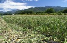 トウモロコシ農家
