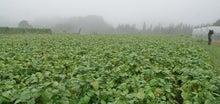 大白大豆畑