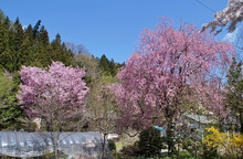 清水屋の桜
