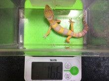 フィガロ君体重測定