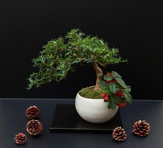 琳葉盆栽 クリスマス ヒイラギ