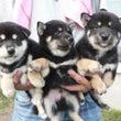筑西風荘で柴犬を購入…