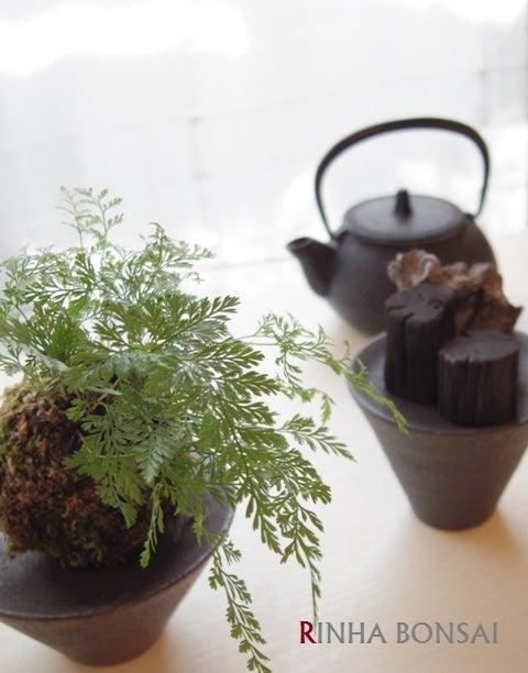 琳葉盆栽 常盤シノブ