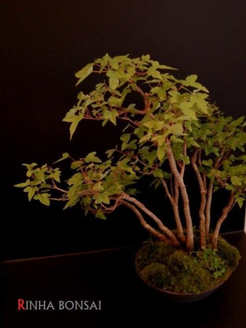 琳葉盆栽 楓 寄せ植え