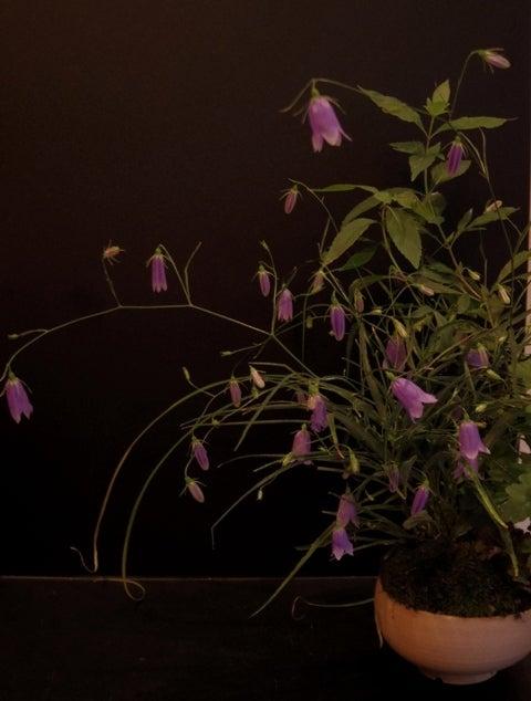 琳葉盆栽 イワシャジン