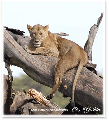 0908木登りライオン02