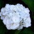 お花シリーズ(紫陽花…