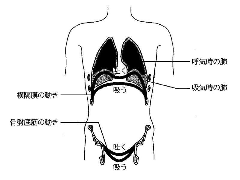 呼吸時の横隔膜・骨盤底筋