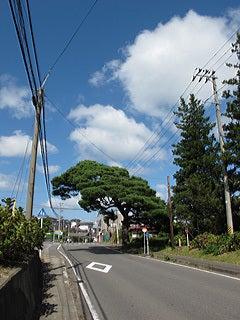 散策の途中で見かけた大きな赤松