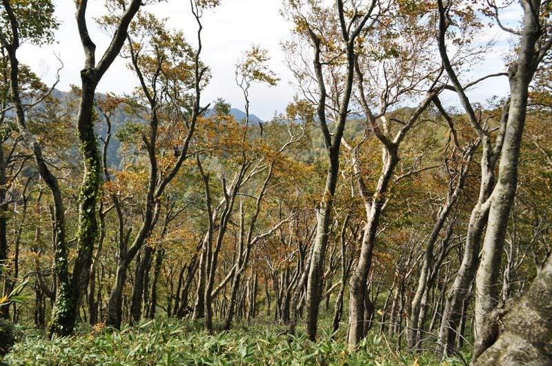 二ツ森のブナ林を上から