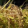 秋の収穫、稲刈りをし…