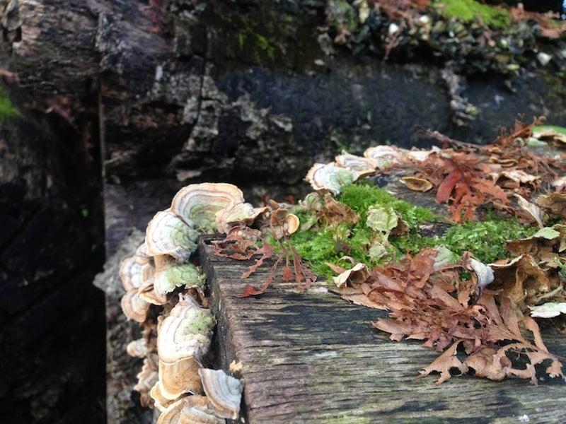 倒木から生えるキノコ