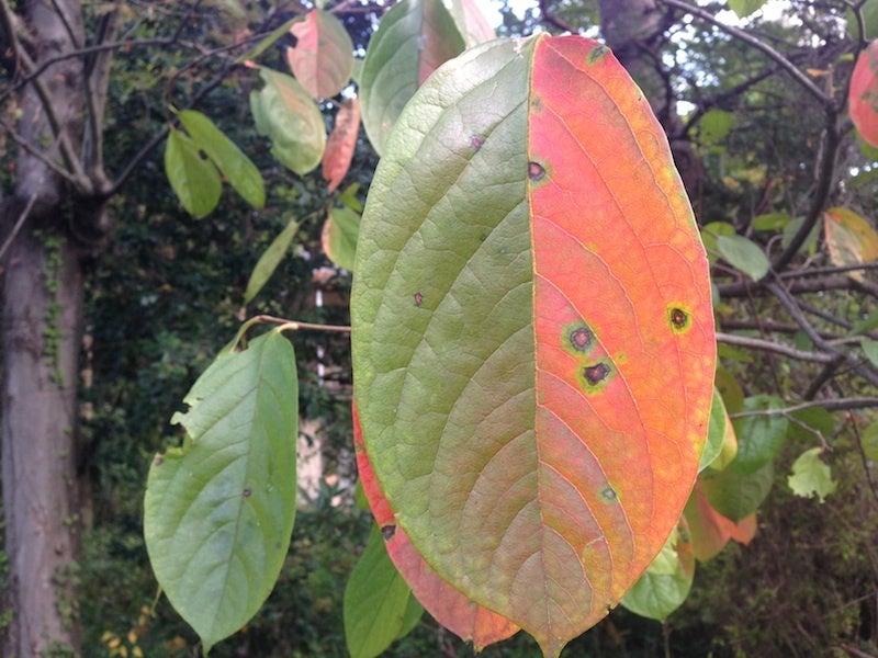 柿の葉紅葉