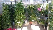 激安観葉植物