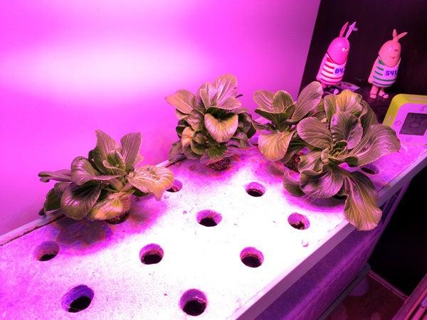 チンゲン菜の水耕栽培(室内栽培)
