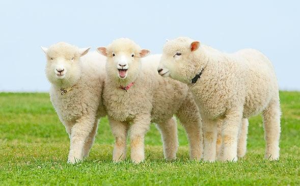 羊と山羊の違い・・・・ | 日頃、感じていることをつぶやいて ...
