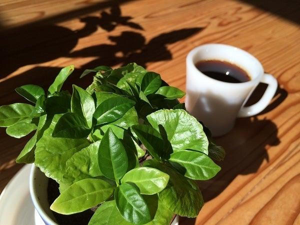 秋のコーヒーの木5