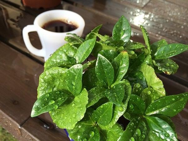 晩秋のコーヒーの木1