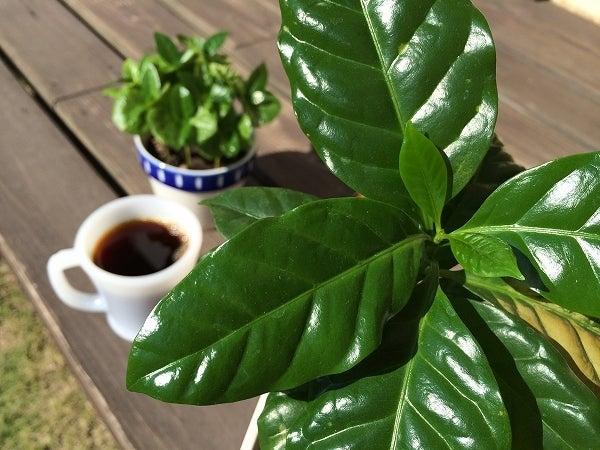 晩秋のコーヒーの木5