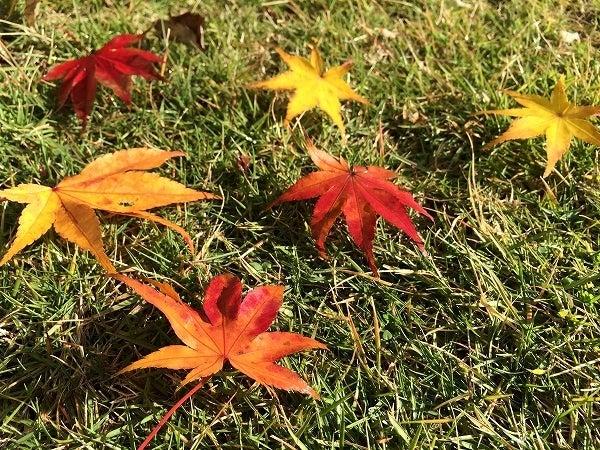 晩秋のコーヒーの木4