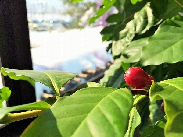 コーーヒの木2