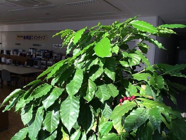 コーーヒの木3