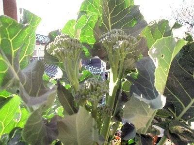 茎ブロッコリー 141217