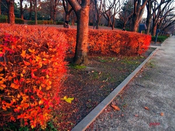 夕陽に輝く紅葉01
