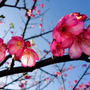 沖縄は寒緋桜