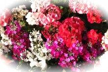 127_赤い花とピンクと白