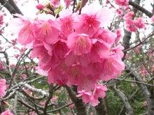伊子茂桜_20150201-1