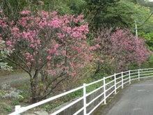 伊子茂桜_20150201-3