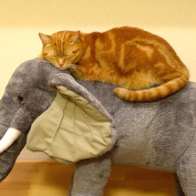 ゾウに乗る猫