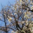 もう梅の花が…!