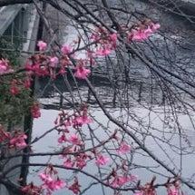 家の近くでもう梅の花…
