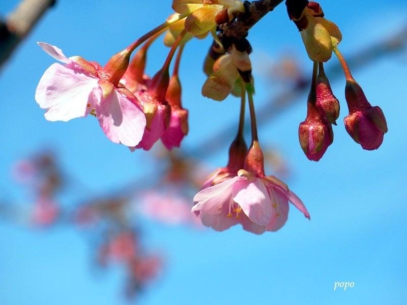 河津桜11