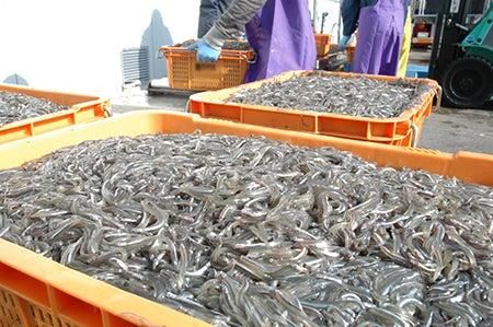 大阪府漁連 いかなご