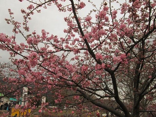 5.満開の河津桜