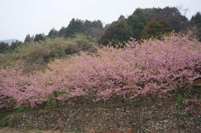 小積の河津桜