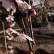 梅は、咲いたが桜はま…