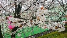 新田神社 桜