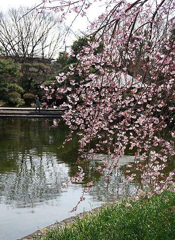 H27.3 城北公園枝垂れ桜-3