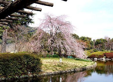 H27.3 城北公園枝垂れ桜-1